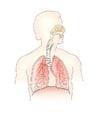 Afbeelding ademhalingsstelsel