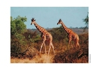 Foto giraf