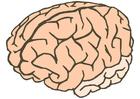 Afbeelding hersenen