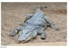 Foto krokodil