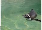 Foto pinguin