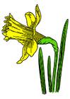 Afbeelding trompetnarcis