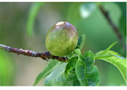 Foto 5. fruit rijpt - late lente