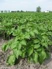 Foto aardappelplant