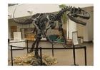 Foto allosaurus skelet