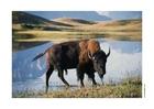 Foto bizon