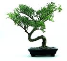 Foto bonsai
