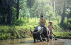 Foto buffel - landbouw