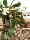 Foto cactus met cactusvruchten
