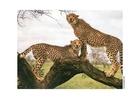 Foto cheetah
