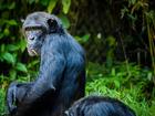 Foto chimpansee