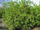 Foto citroenboom