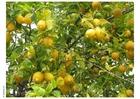 Foto citroenen