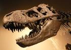 Foto dinosaurus - schedel Tyrannosaurus rex