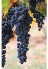 Foto druiven