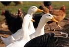 Foto ganzen en kippen