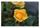 Foto gele rozen