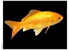 Foto goudvis