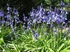 Foto hyacint 4