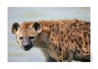 Foto hyena