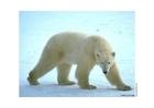 Foto ijsbeer