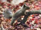 Foto Japanse eekhoorn