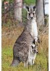 Foto kangoeroe met jong