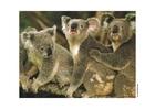 Foto koala
