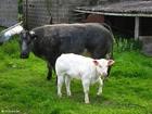 Foto koe met kalf