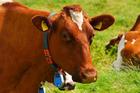 Foto koeien