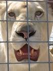 Foto leeuw in kooi