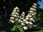 Foto paardekastanje in bloei 2