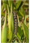 Foto rups van de monarchvlinder