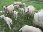 Foto schapen met lammetjes