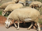 Foto schapen