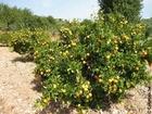 Foto sinaasappelboom