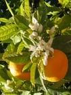 Foto sinaasappels met bloesem