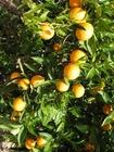 Foto sinaasappels-