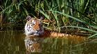 Foto tijger in water