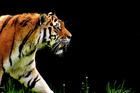 Foto tijger