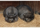 Foto varkens