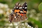 Foto vlinder - Australian painted lady