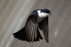 Foto vogel - Myiagra inquieta