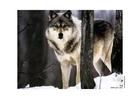Foto wolf