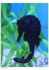 Foto zeepaardje