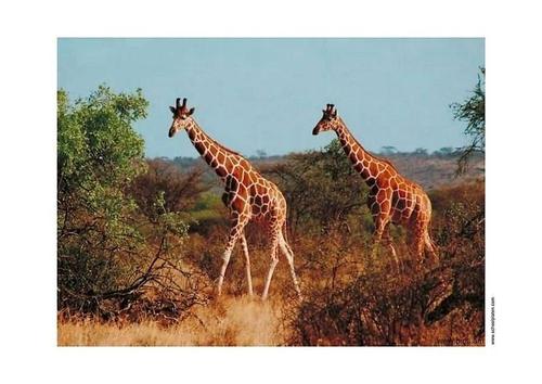 paarden giraffe beeld