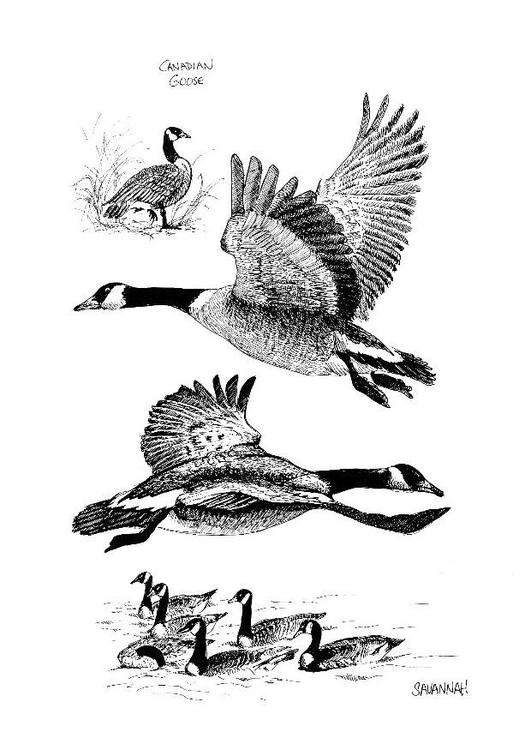 Afbeelding Vogel Kleurplaat Kleurplaat Canadese Gans Afb 8540 Images