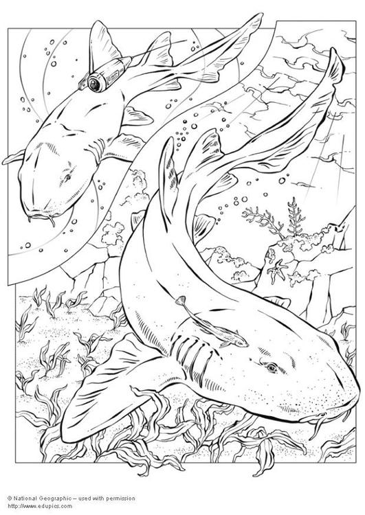 Kleurplaat Haaien Afb 5744