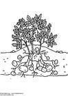 aardappelplant