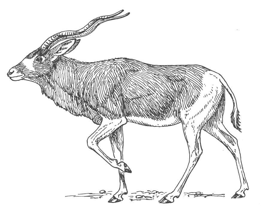 Dieren Afbeeldingen Kleurplaten Kleurplaat Antilope Afb 15698